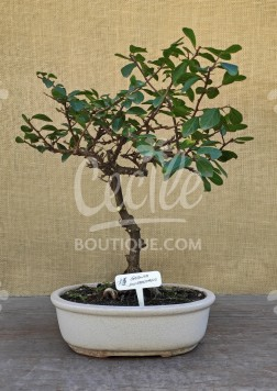 Bonsai Grewia Occidental