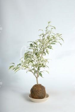 Kokedama Ficus Hawai