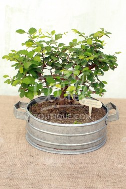 Bonsai Grewia Occidentalis