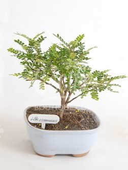 Bonsai Osteomeles