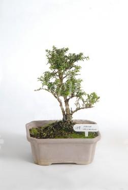 Bonsai Serissa Taiwanesa