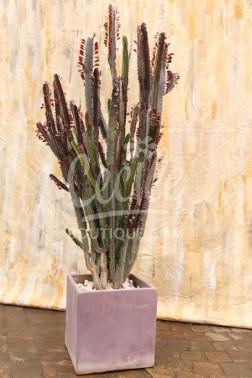 Euphorbia Rubra Adulto